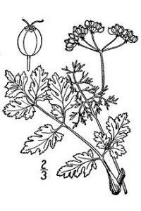 Koriander (Früchte)